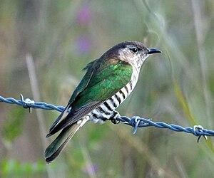 Shining bronze cuckoo - In Brisbane