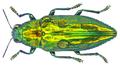 Chrysodema smaragdula (Olivier, 1790).png