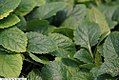 Chrysogonum virginianum Pierre 2zz.jpg