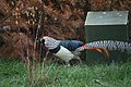Chrysolophus amherstiae -Kirkley Hall Zoological Gardens, Northumberland, England-8a.jpg