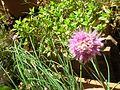 Ciboulette flower.jpg