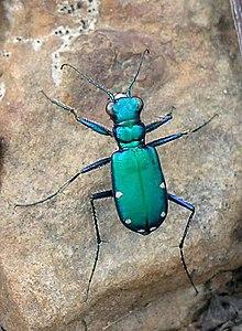 Cicindela sexguttata - Wikipedia