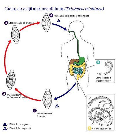 ciclul de dezvoltare al trichocefalelor