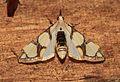 Cirrhochrista kosemponialis ? (Crambidae- Spilomelinae) (22995292115).jpg