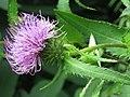 Cirsium vlassovianum 48816691.jpg