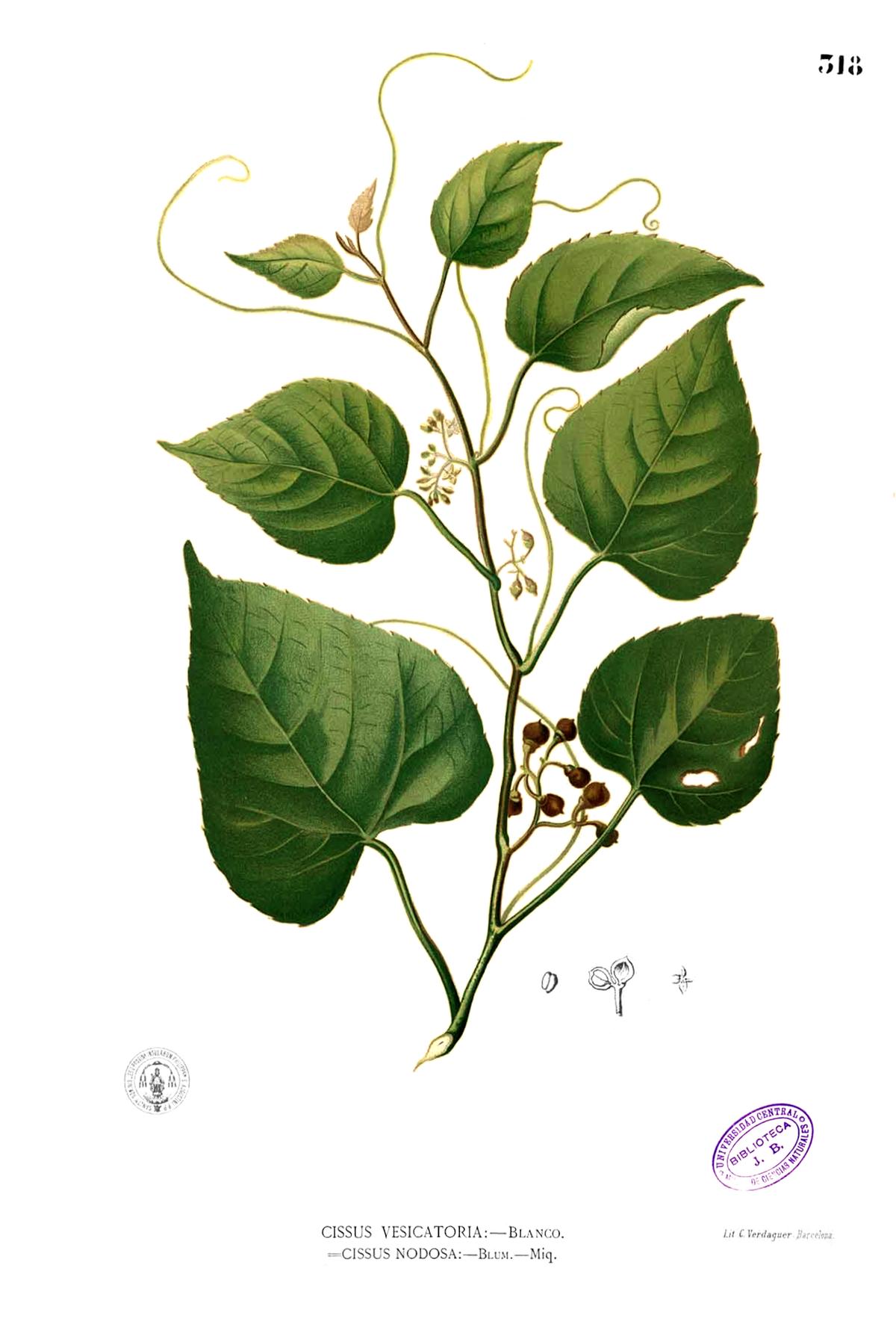 Cissus repens - Wikipedia