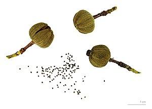 Cistus ladanifer -  Cistus ladanifer  capsule and seeds - MHNT