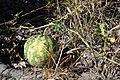 Citrullus ecirrhosus fruit MHNT.JPG