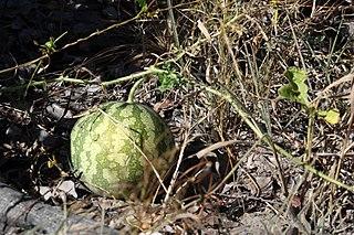 <i>Citrullus ecirrhosus</i> species of plant
