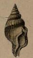 Clavatula obesa 001.png