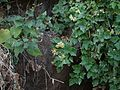 Clematis orientalis subsp. wightiana (6726119715).jpg
