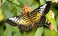 Clipper butterfly full wings.jpg
