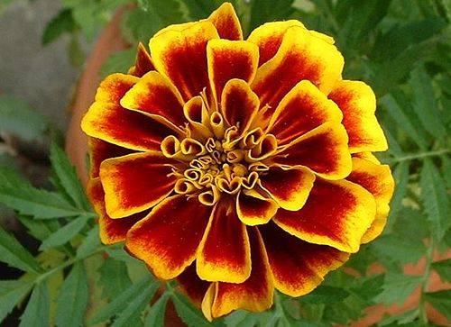 Close marigold.jpg