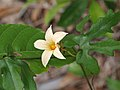 Coccinia sp. ? (Cucurbitaceae) (23817610003).jpg