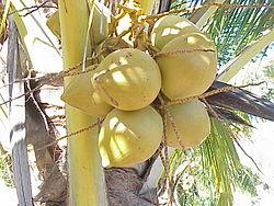 Cocos nucifera8.jpg
