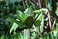 Codiaeum variegatum 49zz.jpg