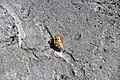 Coenobita clypeatus terrestrial hermit crab (North Point Peninsula, San Salvador Island, Bahamas) 2 (16158446514).jpg