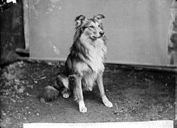 Collie dog (Dr Williams) NLW3363263.jpg
