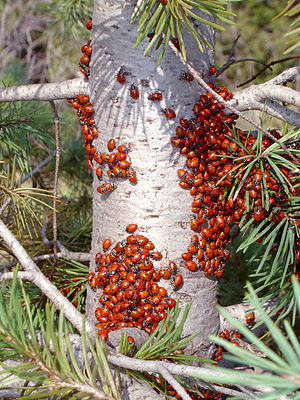 Coccinellidae - Aggregating ladybirds in Colorado Springs, Colorado