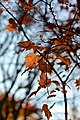 Colored leaves - Flickr - odako1.jpg