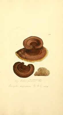 Coloured Figures of English Fungi or Mushrooms - t. 418.png