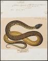 Coluber argus - 1700-1880 - Print - Iconographia Zoologica - Special Collections University of Amsterdam - UBA01 IZ11800201.tif