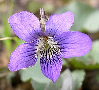 Viola sororia - Image: Common Blue Violet (Viola sororia var. sororia) Flickr Jay Sturner