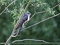 Common Cuckoo (Cuculus canorus) (42946877565).jpg