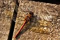 Common Darter Dragonfly - Fowlmere (6272476313).jpg