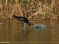 Common Moorhen (Gallinula chloropus) (15276692813).jpg