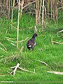 Common Moorhen (Gallinula chloropus) (15867873656).jpg