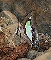 Common Nawab Polyura athamas by Dr. Raju Kasambe DSCN5879 (10).jpg