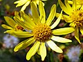 Common Ragwort (Jacobaea vulgaris) (19919684318).jpg