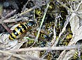 Common Wasp Vespula vulgaris nest with Queen (39646578371).jpg