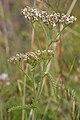 Common Yarrow (Achillea millefolium) - Nesodden, Norway 2020-09-20.jpg