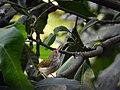 Common tailorbird 02.jpg