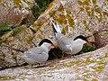 Common terns at Maine Coastal Islands National Wildlife Refuge (4187337317).jpg