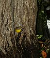Common yellowthroat 01.JPG