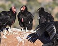 Condors on the Rise (15172389889).jpg