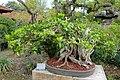 Conocarpus erectus - Morikami Museum and Japanese Gardens - Palm Beach County, Florida - DSC03532.jpg