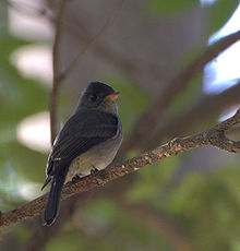 Contopus cinereus -on branch-4.jpg