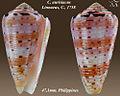 Conus aurisiacus 2.jpg