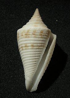 <i>Conasprella</i> genus of molluscs