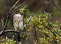 Cooper's Hawk (2).jpg