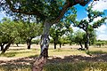 Cork oak (42688316222).jpg