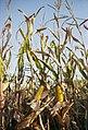 Corn (228185657).jpeg