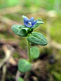 Corn Speedwell - Flickr - treegrow.jpg