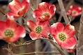 Cornus florida var 1zz.jpg