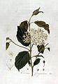 Cornus sanguinea — Flora Batava — Volume v2.jpg