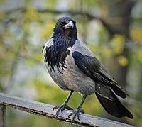 Corvus cornix -perching-8.jpg